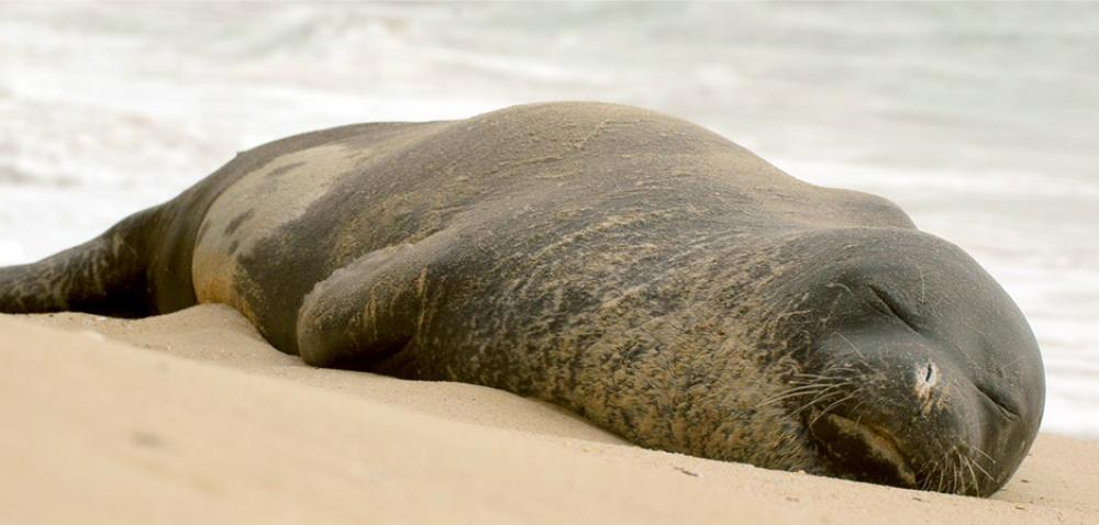 Monk seal Cropped 1